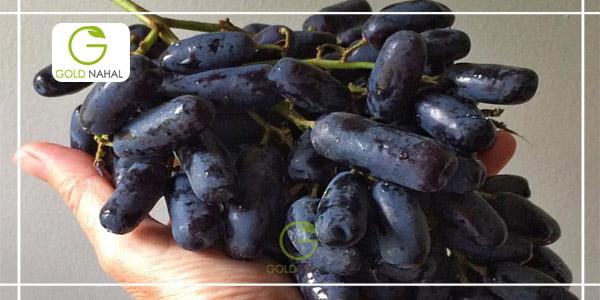 نهال های انگور موندراپ