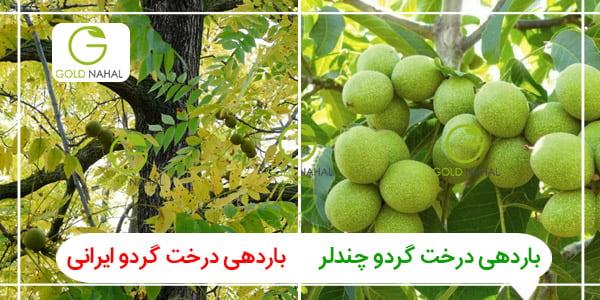 تفاوت باردهی گردو چندلر با درخت گردو قدیمی ایرانی را مشاهده می نمایید .