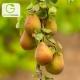درخت گلابی نطنز