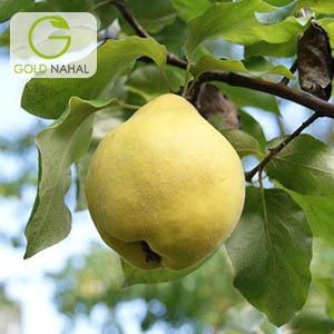 نهال به لیمو