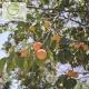 نهال زردآلو گلدریج
