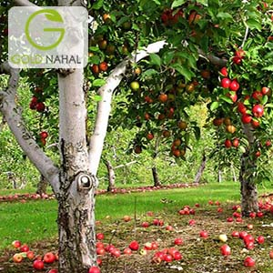 نهال سیب قرمز لبنان