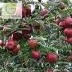 نهال سیب پایه کوتاه