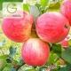 نهال سیب گالا