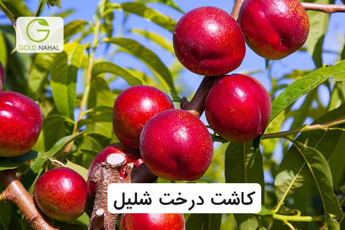 درخت شلیل