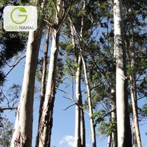 نهال درخت تبریزی