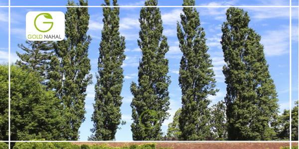 عکس درخت صنوبر