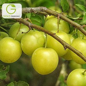نهال گوجه سبز اراک