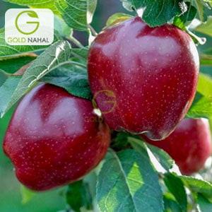 درخت سیب علی موری خراسان