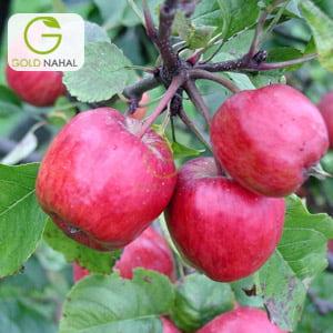سیب زنور
