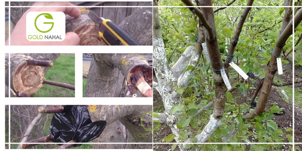 پیوند درخت گردو می تواند درخت را ، اصلاح ژنتیکی نمایید.