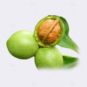 خرید نهال گردو ایتاکا یونانی ؛ یکی از گردوهای تجاری که تازه وارد کشور شده است.